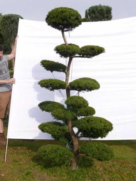 Taxus media 'Hillii' H: 230 cm B: 130 cm / Garten-Bonsai (0027)