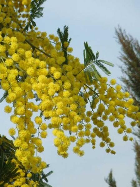 Acacia dealbata 'Lisette' / Silber-Akazie 'Lisette' / Falsche Mimose 'Lisette'