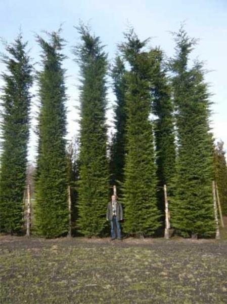 Cupressocyparis leylandii / grüne Bastardzypresse 700-800 cm Solitär  mit Drahtballierung