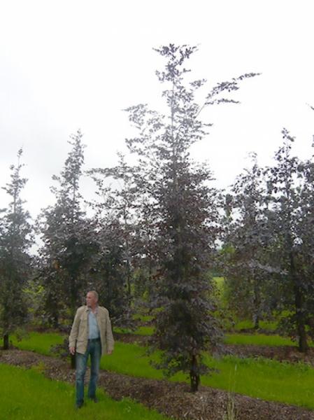 Fagus sylvatica 'Purpurea' / Blutbuche 450-500 cm Solitär mit Drahtballierung