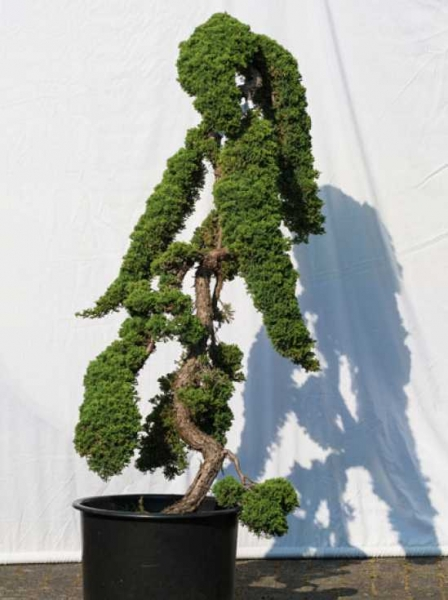 Juniperus procumbens 'Nana' H: 140 cm B: 70 cm / Garten-Bonsai (500)