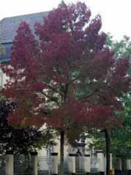 Fraxinus angustifolia 'Raywood' / Purpur-Esche / Schmalblättrige Esche