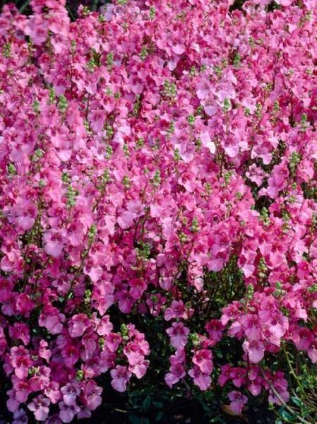 Diascia barberae 'Ruby Field' / Garten-Doppelsporn