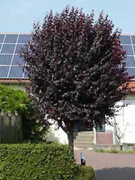 Prunus cerasifera 'Nigra' Stämmchen / Blut - Pflaume