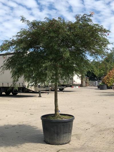 Acer palmatum 'Dissectum Flavescens' / Japanischer Schlitzahorn / Fächerahorn 200-250 cm breit (546813)