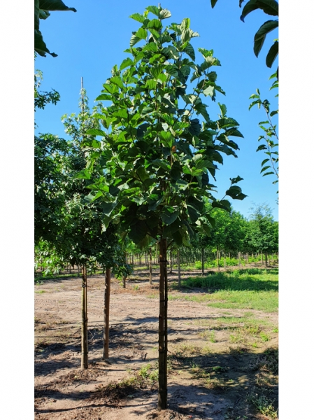Magnolia acuminata / Gurken-Magnolie
