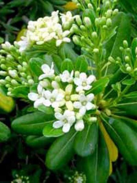 Pittosporum tobira / Chinesischer Klebsame