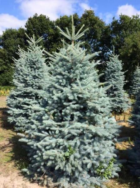 Picea pungens 'Blue Diamond' / Kegel-Blaufichte