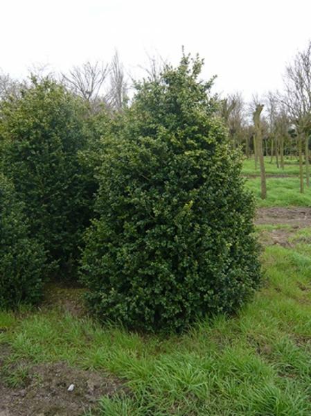 Buxus Rotundifolia / Großblättriger Buchsbaum 200-250 cm Solitär mit Ballierung