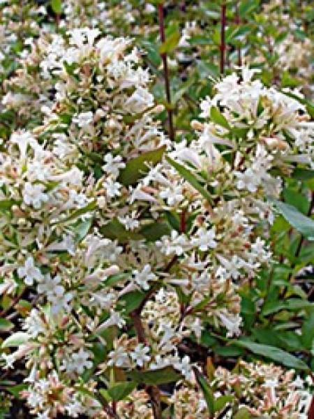 Abelia chinensis / Chinesische Abelie