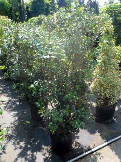 Osmanthus heterophyllus / Ilexblättrige Duftblüte 125-150 cm 30-Liter Container