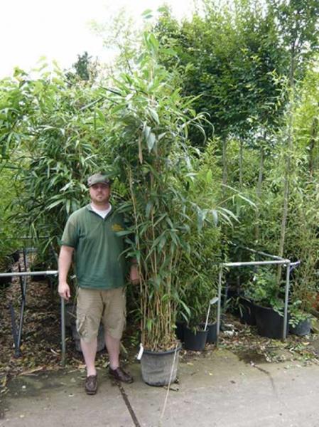 Pseudosasa japonica / Pfeilbambus 175-200 cm im 30-Liter Container