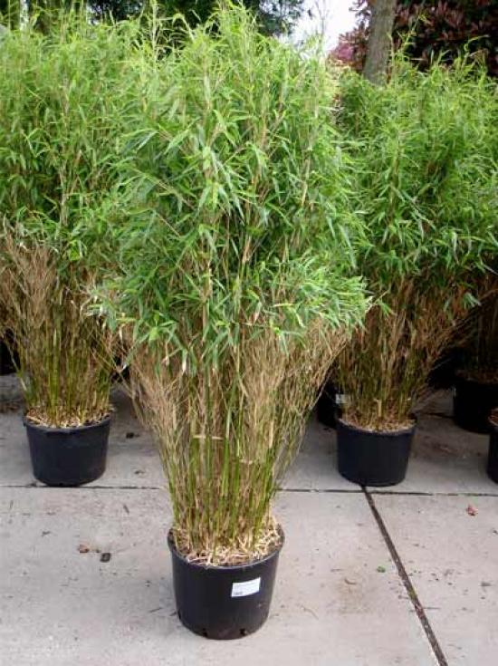 Fargesia Murielae Jumbo Gartenbambus Jumbo 125 150 Cm Im 20