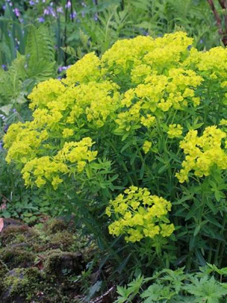 Euphorbia palustris 'Teichlaterne' / Sumpf-Wolfsmilch