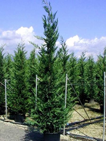 Cupressocyparis leylandii / grüne Bastardzypresse 300-350 cm im 50-Liter Container