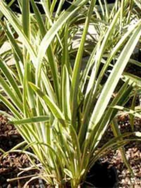Phormium tenax 'Variegatum' / Weißbunter Neuseeländer-Flachs