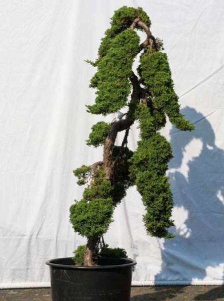 Juniperus procumbens 'Nana' H: 160 cm B: 70 cm / Garten-Bonsai (501)
