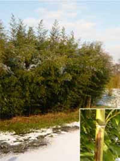 Phyllostachys nigra 'Boryana' / brauner Flecken Bambus 250-300 cm im 50-Liter Container