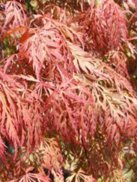 acer palmatum 39 orangeola 39 japanischer f cherahorn 39 orangeola 39 g nstig kaufen. Black Bedroom Furniture Sets. Home Design Ideas
