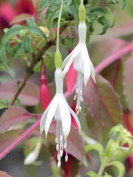 Fuchsia magellancia 'Alba' / Garten-Fuchsie 'Alba' / Weiße Magellan-Fuchsie