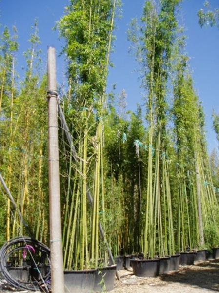 Phyllostachys viridiglaucescens / grüner Pulver Bambus 500-600 cm im 150-Liter Container