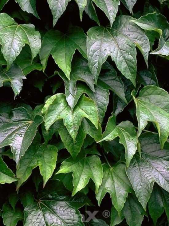 parthenocissus tricuspidata 39 green spring 39 wilder wein 39 green spring 39 g nstig kaufen. Black Bedroom Furniture Sets. Home Design Ideas