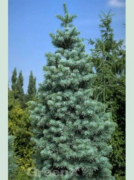 Abies concolor 'Compacta' / Zwerg-Grau-Tanne