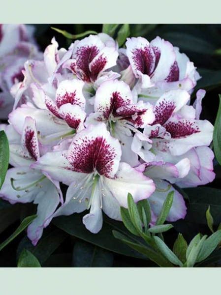 Rhododendron Hybride 'Ursula' / Rhododendron 'Ursula'