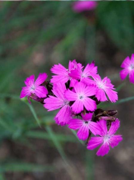 Dianthus carthusianorum / Kartäuser-Nelke