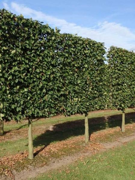 Carpinus betulus / Hainbuche 'Halbstamm-Spalier' H:200 B:200 T:20 (Stamm 100 cm)