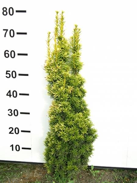 Taxus baccata 'Fastigiata Aurea' / gelbe Säulen-Eibe 60-80 cm mit Ballierung