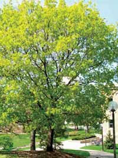 Acer platanoides / Spitz-Ahorn