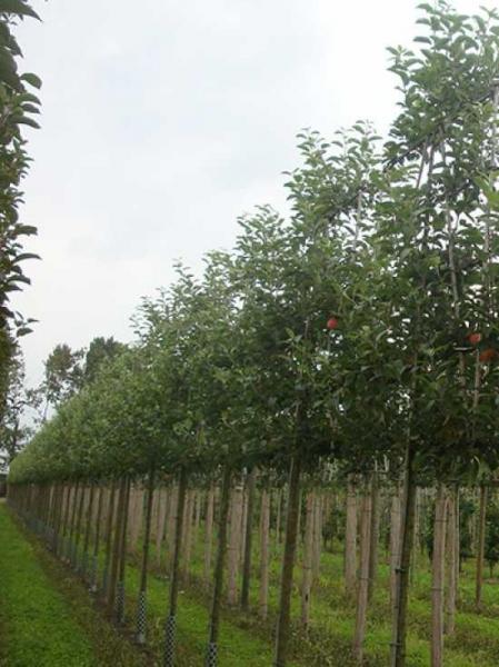 Malus domestica 'Notaris' / Apfel Notaris 'Hochstamm-Spalier' H:160 B:160 T:20 (Stamm 210 cm)