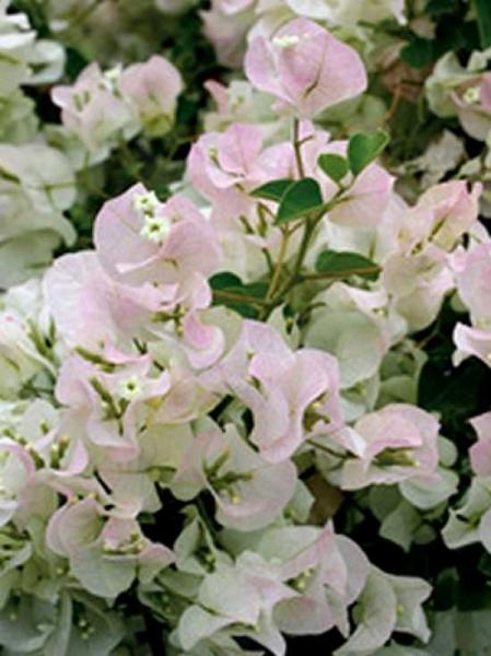 Bougainvillea buttiana 'Jamaica White' / Drillingsblume / Bougainvillea