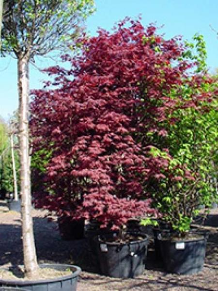 Acer palmatum 'O-kagami' / Japanischer Fächerahorn 'O-kagami'