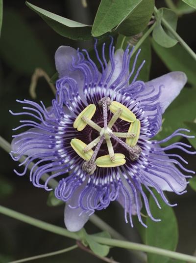 Passiflora 'Purple Haze' / Passionsblume 'Purple Haze'