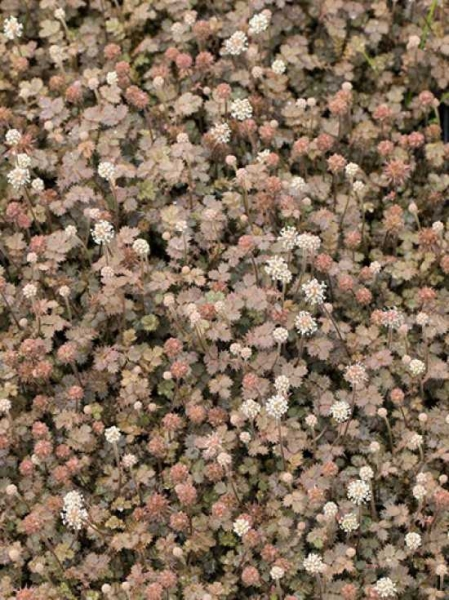 Acaena microphylla 'Brauner Zwerg' / Stachelnüsschen