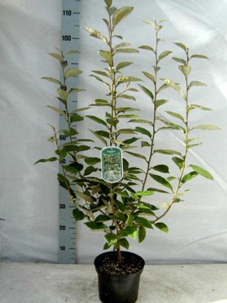 Elaeagnus ebbingei / Wintergrüne Ölweide 60-80 cm im 3-Liter Container