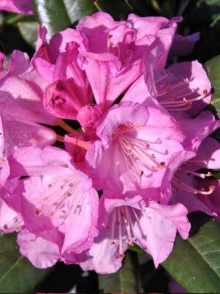 Rhododendron Hybride 'INKARHO Arktis' / Rhododendron 'INKARHO Arktis'