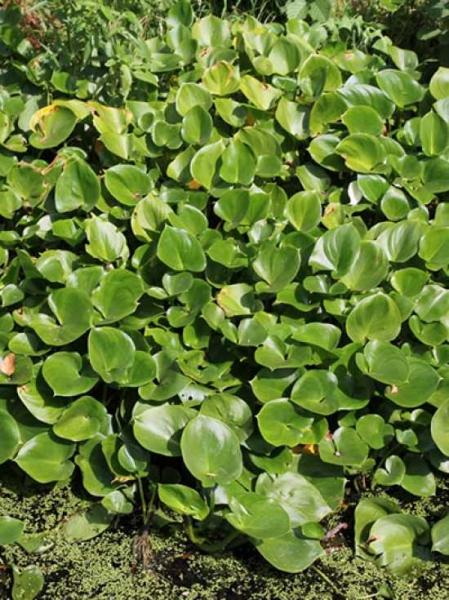 Calla palustris / Drachenwurz / Sumpf-Calla