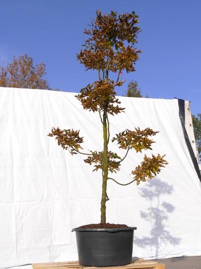 Carpinus betulus H: 220 cm B: 100 cm  / Gartenbonsai (3101)
