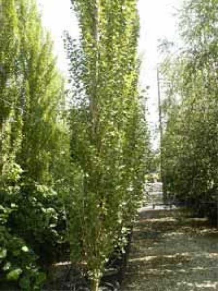 Populus nigra 'Italica' / Pyramiden-Pappel / Säulen-Pappel