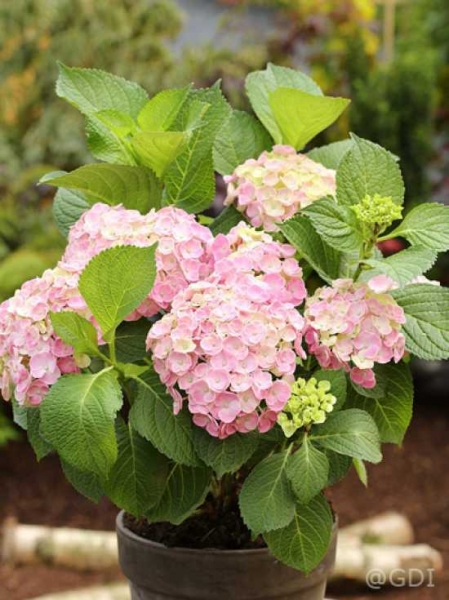 Hydrangea macrophylla 'Endless Summer ®' rose / Bauern-Hortensie 'Endless Summer' rose