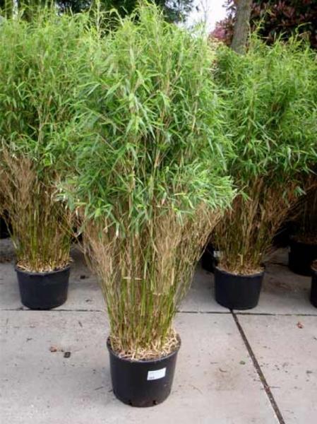 Fargesia murielae Gartenbambus Jumbo 125-150cm
