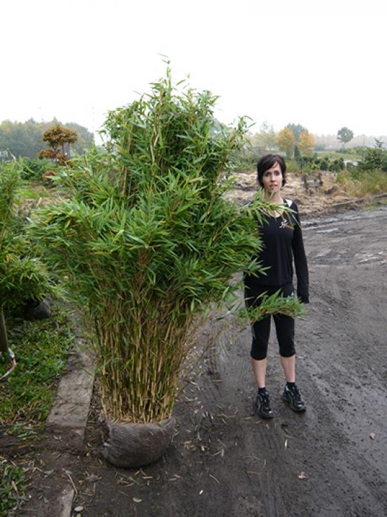 Bambus Fargesia Jumbo
