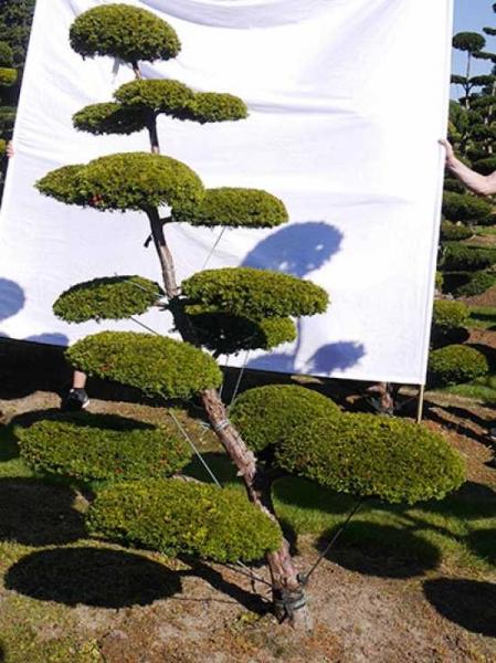Taxus baccata 'Semperaurea' H: 210 cm B: 160 cm / Garten-Bonsai (0136)