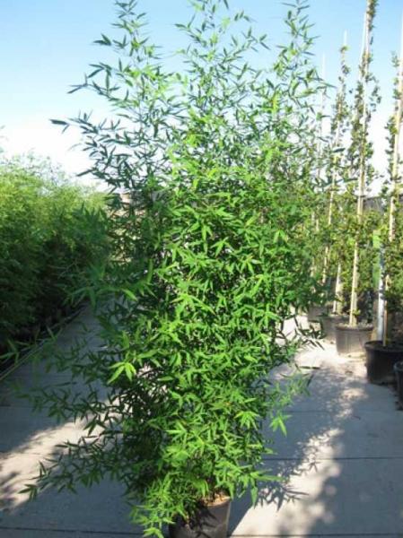 Phyllostachys aurea / Knoten-Bambus 250-300 cm im 35-Liter Container