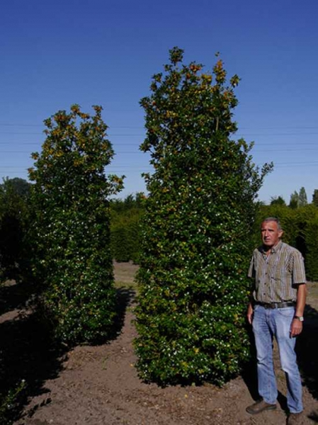 Ilex aquifolium / Stechpalme 250-300 cm Solitär mit Drahtballierung