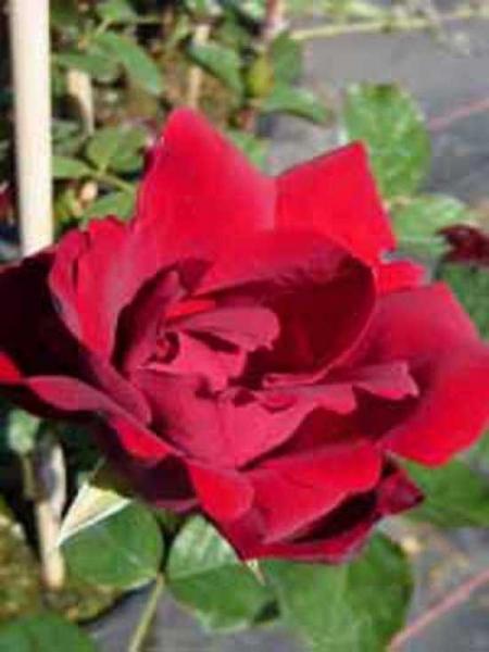 Rosa 'Santana ®' / Kletterrose 'Santana'
