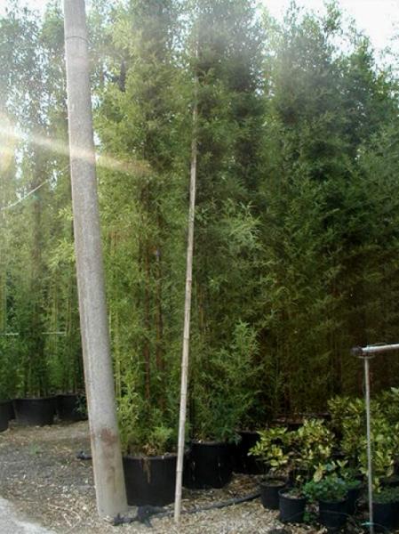 Phyllostachys nigra / schwarzer Bambus 400-500 cm im 110-Liter Container